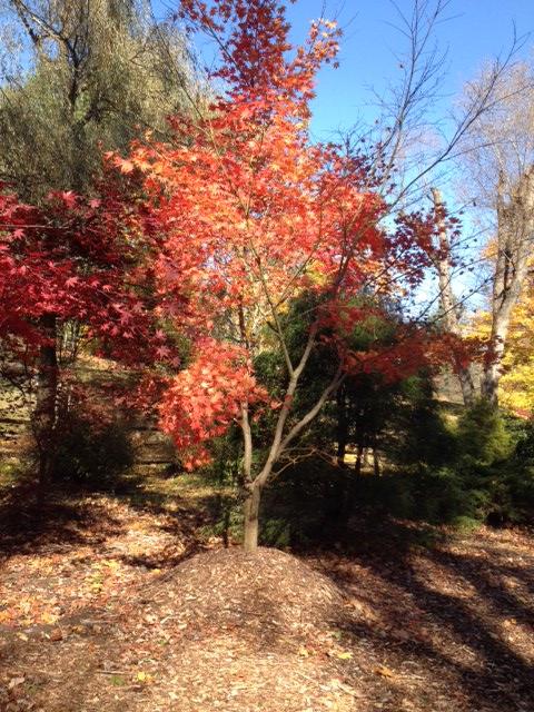 maple tree 1